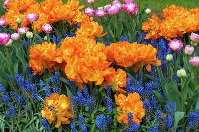 Photograph - Flowerbed With Tulip Orca And Muscari by Jenny Rainbow
