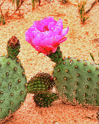 Photograph - Flowering Cactus by Allen Beatty