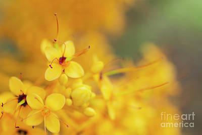Photograph - Flowers Of A Yellow Saraca Tree by Charmian Vistaunet