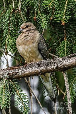 Staff Picks Cortney Herron - Fluffy Mourning Dove by Cindy Treger