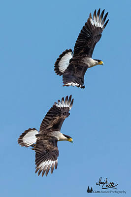Photograph - Flying Caracaras by David Cutts