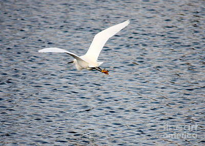 Photograph - Flying Egret Over Tampa Bay by Carol Groenen