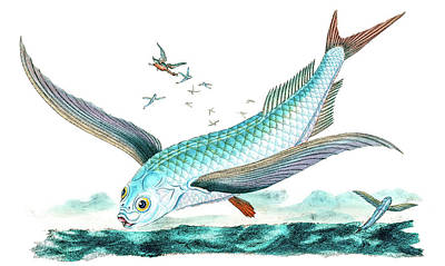 Animals Drawings - Flying Fish by David Letts