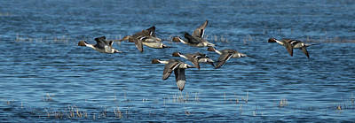 Pop Art - Flying Northern Pintail Ducks by Elizabeth Waitinas