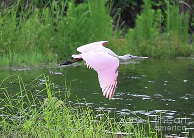 Photograph - Flying Roseate Spoonbill by Carol Groenen