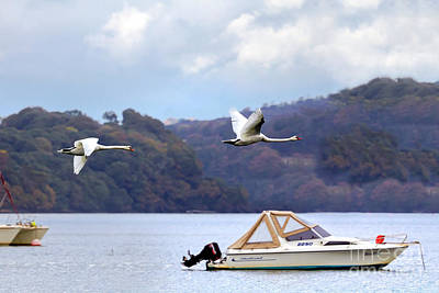 Photograph - Flying Swans by Terri Waters