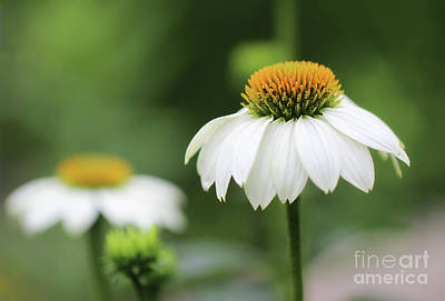 Photograph - Focusing On White Coneflower by Karen Adams