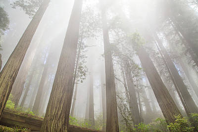 Photograph - Fog In The Redwoods by Kunal Mehra