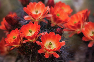 Photograph - For The Love Of Cacti Flowers  by Saija Lehtonen