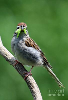 Hollywood Style - Forget It - Get Your Own Worms - Chipping Sparrow by Cindy Treger