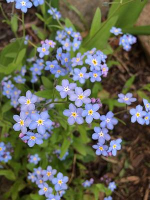 Photograph - Forget Me Not by N Kirouac