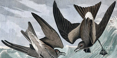 Painting - Fork Tailed Petrel, Thalassidroma Leachii By Audubon by John James Audubon