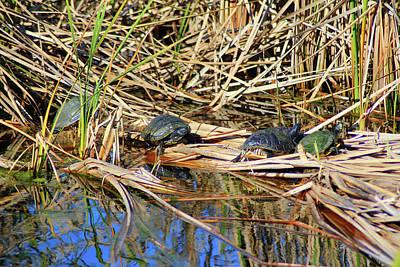 Photograph - Four Box Turtles by Cynthia Guinn