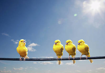 Animal Animal Photograph - Four Canaries On Wire, One Bird Chirping by Pm Images
