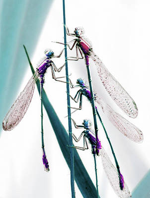 Photograph - Four Dragonflies Sit Upright On Stem by Win-initiative/neleman