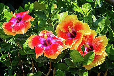 Photograph - Four Fabulous Tropical Hibiscus by Lynn Bauer