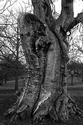 Photograph - Four Hundred Year Old Sweet Chestnut Tree At Greenwich Park by Aidan Moran