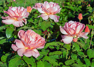 Vintage Presidential Portraits - Four Pink Roses by Paul Thompson