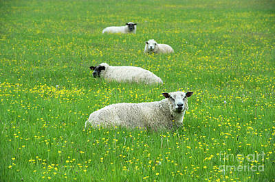 Photograph - Four Sheep by Tim Gainey