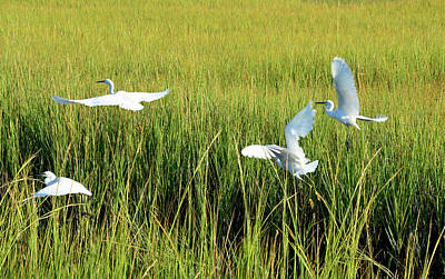 Photograph - Four Snowy Egrets In Flight by Bruce Gourley