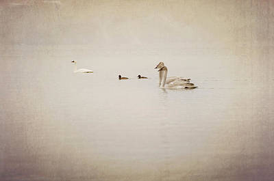 Coot Wall Art - Photograph - Four Swan Swimming by Blue Mountain Images