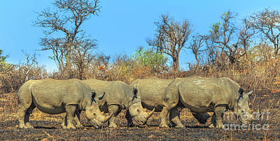 Photograph - Four White Rhinos by Benny Marty