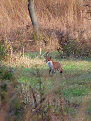 Photograph - Fox In The Wild by Paul Ross