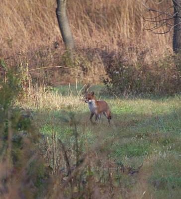 Photograph - Fox On Prowl by Paul Ross