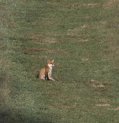 Photograph - Fox Sitting In The Sun 2 by Paul Ross