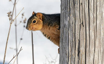 Photograph - Fox Squirrel 2019 by Thomas Young