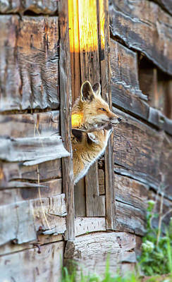 Photograph - Fox Test  by Kevin Dietrich