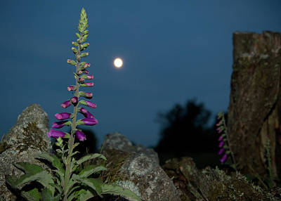 Photograph - Foxglove And Moon by Helen Northcott
