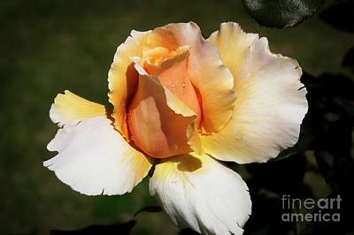 Photograph - Fragrant Rose by Fran Woods