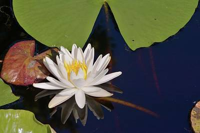 Photograph - Fragrant Water Lily by Bradford Martin