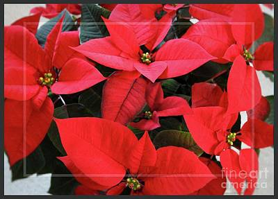 Photograph - Framed Red Poinsettias by Sandra Huston