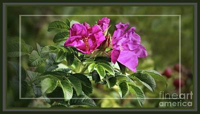 Photograph - Framed Wild Island Rose by Sandra Huston