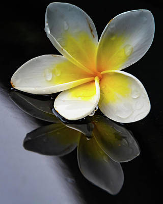 Photograph - Frangipani Reflection by Merrillie Redden