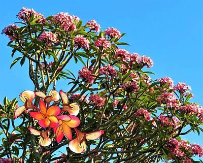 Flower Wall Art - Photograph - Frangipani Tree by Joan Stratton