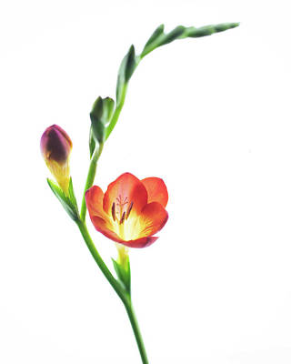 Photograph - Freesia 2 by Rebecca Cozart