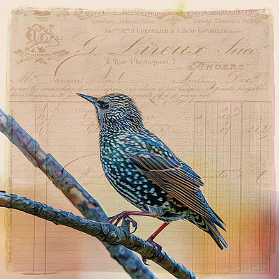 Photograph - French Starling by Cathy Kovarik