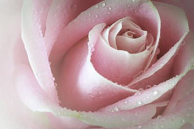 Photograph - Fresh Rose by Perry Correll