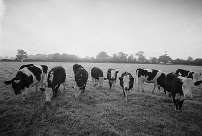 Photograph - Friesian Cows by Graham Wood