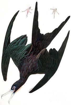 Painting - Frigate Pelican, Tachypetes Aquilis By Audubon by John James Audubon