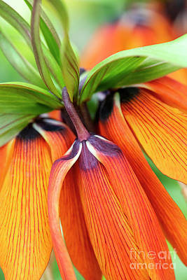 Photograph - Fritillaria Imperialis Crown Imperial Flowers by Tim Gainey