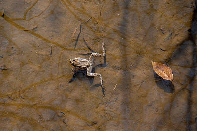 Photograph - Frog Floating In Water by Dan Friend