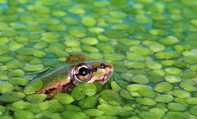 Photograph - Frog From Duckweed In Pond by Retales Botijero