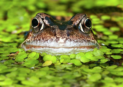 Photograph - Frog In Pond by A J Withey