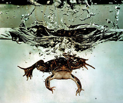 Photograph - Frog Submerging After Jumping Into Aquar by Gjon Mili