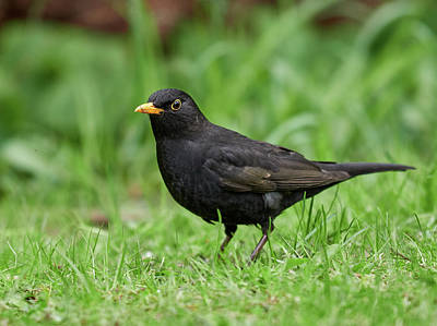 1-war Is Hell Royalty Free Images - From eye to eye. Eurasian Blackbird Royalty-Free Image by Jouko Lehto