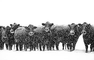 Frosty Faces Black Angus Cows Montana Art Print